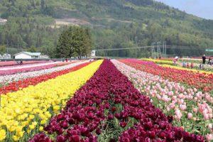 Tulip Gardens Amsterdam